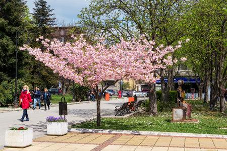 Varna, Bulgaria, April 15, 2019. Beautiful sakura tree with a lot of fragile pink flowers on a city street. City life at springtime. Editorial