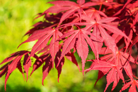 Beautiful red leaves of a Japanese maple or Acer japonicum on a sunny day. Nature and botany, ornamental trees and shrubs with red leaves for gardens and landscape design. Close-up.