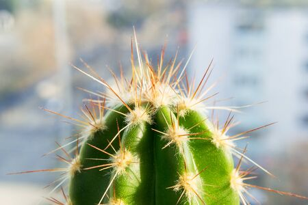 Cactus in the sunlight at the window close-up. Macro photography of a cactus spines and areolas. The top of a cactus in macro mode. Home gardening as a hobby. Front view. Stock Photo