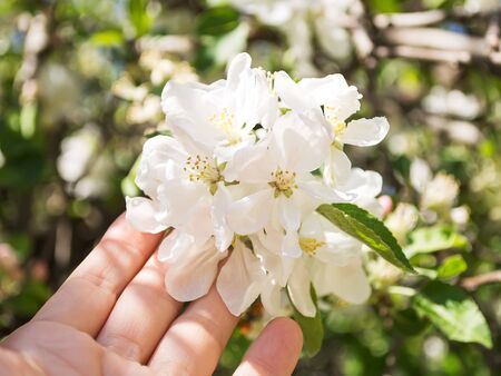 Woman hand touching a white flowers of quince or Cydonia oblonga among young green leaves on a sunny day. Blooming trees in gardens and orchards. Springtime. Close-up.