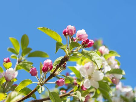 Quince or Cydonia oblonga twigs with buds and white flowers among young green leaves against blue sky on a sunny day. Blooming trees in gardens and orchards. Springtime.