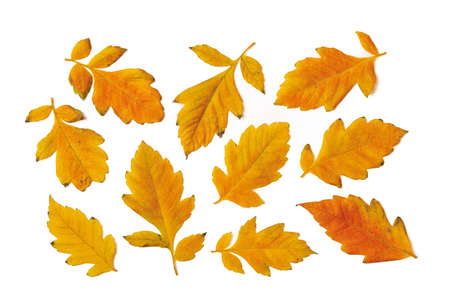Set of yellow orange fall leaves upper side isolated on white background. Autumn leaves as a seasonal design element. Top view.