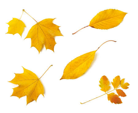 Set of different yellow fall leaves isolated on white background. Autumn leaves as a seasonal design element. Top view. 免版税图像