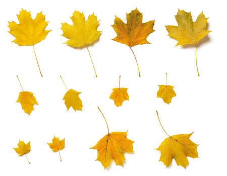 Set of fall yellow plane or sycamore tree leaves both sides isolated on white background. Autumn leaves as a seasonal design element. Top view. 免版税图像