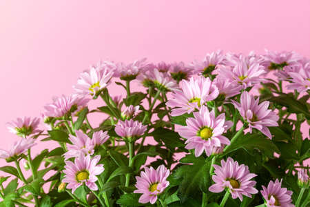 Blooming of light pink potted mums or chrysanthemum morifolium against pastel pink background. Blank for greeting card disign. Copy space. Front view.