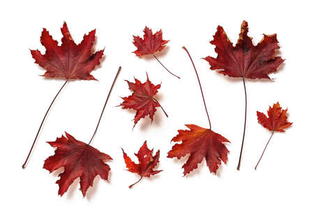 Purple leaves of royal red maple tree leaves or acer platanoides upper side isolated on white background. Set of autumn leaves as a seasonal design element. Top view.