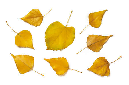 Set of yellow aspen leaves and linden one isolated on white background. Autumn leaves as a seasonal design element. Top view.