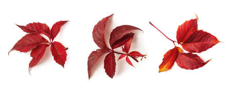 Common hop or humulus lupulus three red fall leaves isolated on white background. Set of autumn leaves as a seasonal design element. Top view.