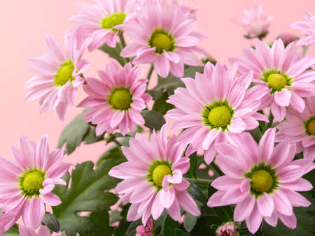 Light pink flower heads of potted mums or chrysanthemum morifolium against pastel pink background. Blank for greeting card disign. Close-up. Front view.