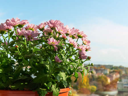 Light pink blooming of potted mums or chrysanthemum morifolium against indoor window on a sunny autumn day. Home gardening as a hobby. Front view.