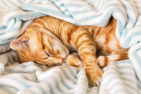 Ginger tabby cat curled up and peacefully napping under a soft striped blanket. Domestic red cat sleeping on its side on a warm plaid in a bed. Pet everyday life. Top view. 免版税图像