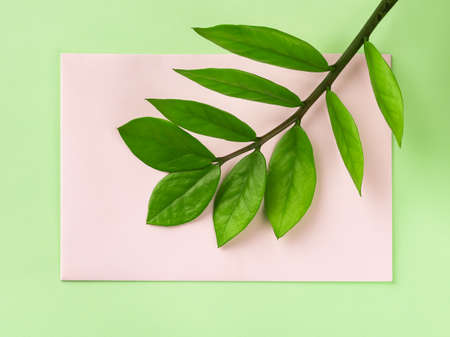 Fresh green stem of eternity Zuzu plant or Zamioculcas zamiifolia on a pastel pink paper card over green background. Living green lifestyle and eco-friendly concepts. Top view.