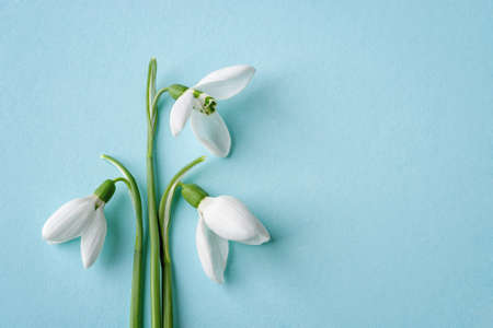 Three white delicate snowdrops against blue background. Delicate first spring flowers Galanthus Nivalis close-up. Spring season holidays greeting card mock-up. Copy space. Top view. 免版税图像