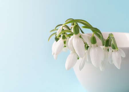 Close-up of fragile snowdrops in a  white ceramic vase against pastel blue background. Small bouquet of the first spring flowers Galanthus Nivalis. Spring greeting card. Copy space. Front view.