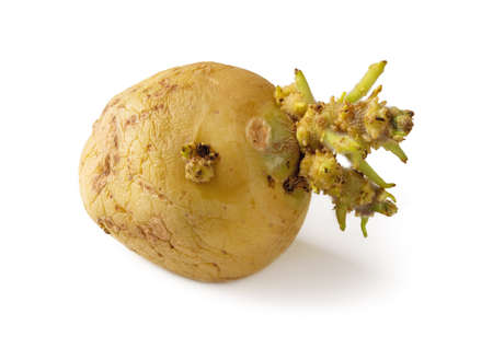 Shriveled sprouted potato isolated on white background. One seed tuber with sprouts macro. Vegetables farming, cultivation and storing. Agriculture and planting. Food waste and peelings. Front view. 免版税图像