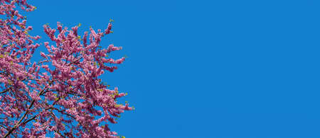 Lush pink blooming of eastern redbud tree against bright blue sky on a sunny spring day. Purple flowering branches of Cercis or Judas Tree. Spring banner template. Copy space. Wide angle image. Stock Photo