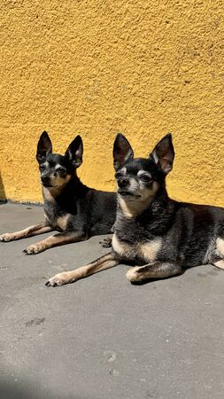Photo of beautiful twin pinscher dogs Reklamní fotografie