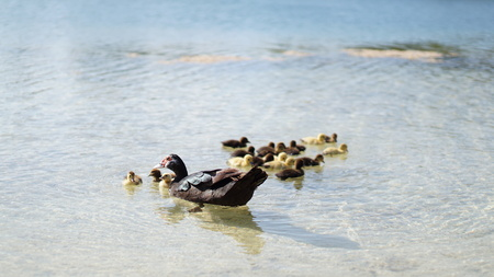muscovy duck mother with babies 版權商用圖片