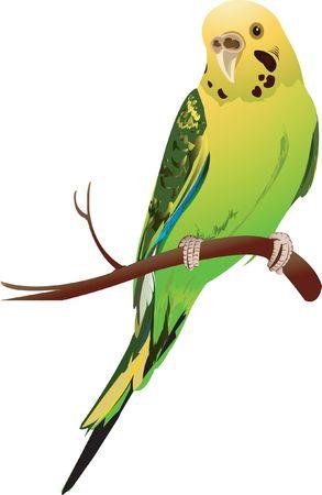 perching: Love bird