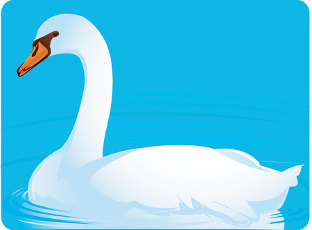 freshwater bird: white goose swimming on water