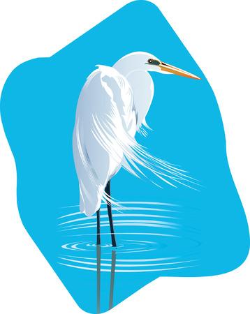 freshwater bird: Beautiful Crane searching for fish in  water