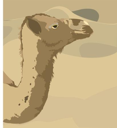 saddle camel: camel looking