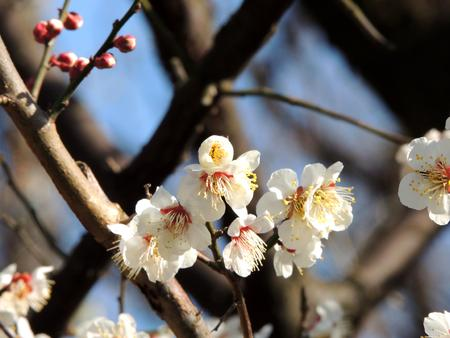 Flowering plum tree Stock Photo