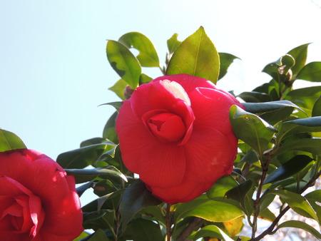 Camellia flower 写真素材 - 89754284