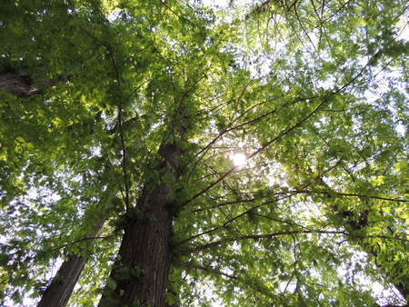 Metasequoia and the Sun 写真素材