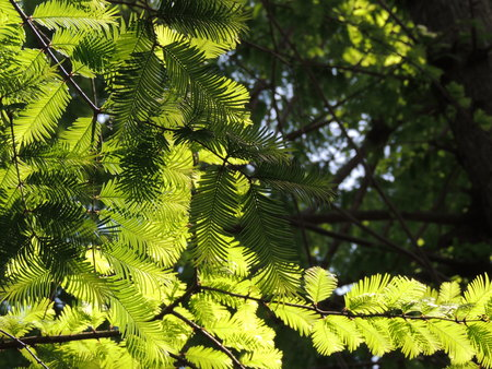Soak up the sun light shining Metasequoia leaves