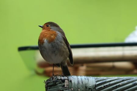 European Robin (Erithacus rubecula) sitting in front of camera in Irish cafe.