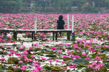 lotus flowers: Pink lotus in swamp, Bangkok, Thailand.