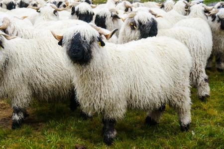 valais: Valais Blacknose Sheep herd at Zermatt, Switzerland.