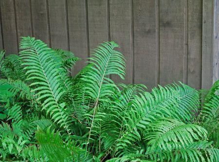Fern fronds tegen grijze cedar bord fence, zomer bladerdek