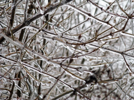 branches of lilac bush encased in coating of glistening ice Imagens