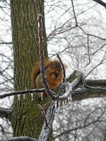 squirrel feeding on nut in walnut tree after ice storm Stock Photo