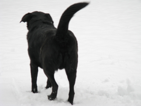 black dog setting out to explore in fresh snow