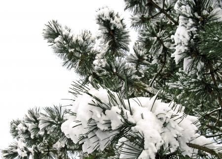 snow-laden branches of black pine