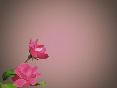 Two pink roses with bright green foliage. Gradient background puts spotlight on your text.