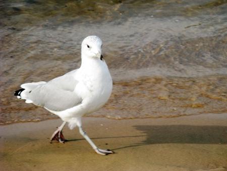 struts: City pigeon struts his stuff at waters edge.  Chicago, Lake Michigan.