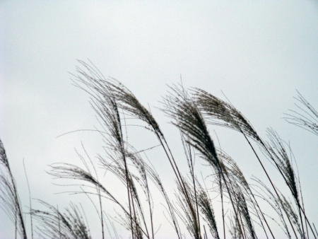 Wispy seeds of grass against a cloudy winter sky.