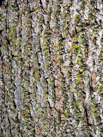 close-up of bark of black walnut tree with small lichens and moss; background for text