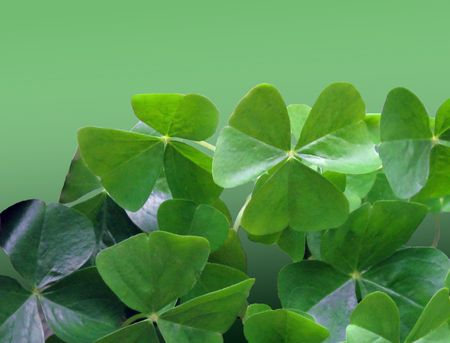 Oxalis with its three leaves is often called a shamrock. Stock Photo - 6627893
