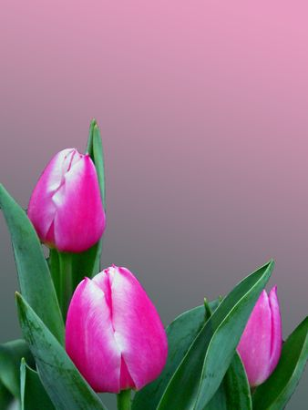 Three blushing tulips on a gradient background.