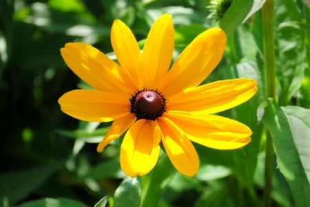 This wildflower bears many common names: Black-eyed Susan, Blackiehead, Brown Betty, Brown Daisy, Brown-eyed Susan, Gloriosa Daisy, Golden Jerusalem, Poorland Daisy, Yellow Daisy, Yellow Ox-eye Daisy
