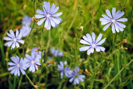 chicory coffee: Roadside chicory is a common sight in both the old world and the new.  It has a long history of use as animal forage and herbal medicine. The roots may be roasted and ground to make a beverage similar to coffee, popular in the southern USA.  Stock Photo
