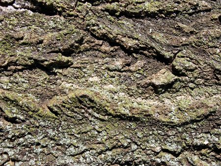 Gnarled bark of an ancient tree-of-heaven with tiny mosses and lichens. Good background texture for your copy.
