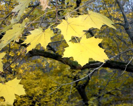 Pale yellow maple leaves glow in the autumn afternoon sun. Stock Photo - 8228702