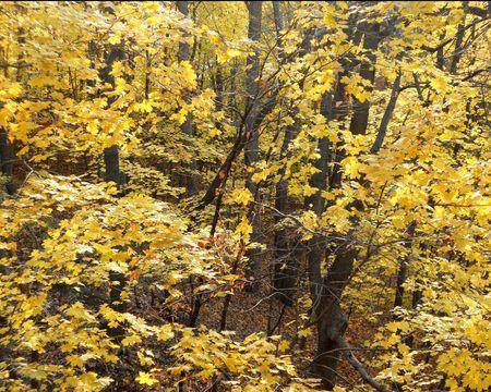 Golden yellow maple trees brighten the autumn woods. Stock Photo - 8228706