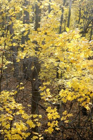 Golden yellow maple trees brighten the autumn woods. Stock Photo - 8228704